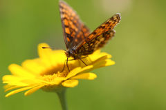 Yellow flower and butterfly. Yellow marigold flower and butterfly on a green background royalty free stock photo