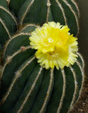 Yellow flower on cactus royalty free stock photography