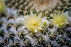 Yellow flower cactus on the pebble. The cactus green nature in the botanical garden Stock Image