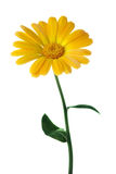 Yellow flower calendula royalty free stock photography