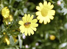 Yellow flower called calendula arvensis with bee on pistils. On green field Stock Photography