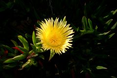 Yellow flower carpobrotus with narrow petals on dark green background stock photo