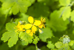 Yellow flower of celandine close up Stock Photography