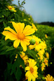 Yellow flower chiangmai Thailand travel Stock Images