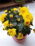 Yellow flower. Yellow Chrysanthemum blooming in a pink vase Royalty Free Stock Image