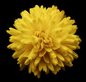 Yellow flower chrysanthemum.  garden flower.  black  isolated background with clipping path.  Closeup. no shadows. Royalty Free Stock Photo