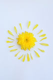 Yellow flower of chrysanthemum with petals on a white background Royalty Free Stock Images