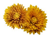 Yellow flower chrysanthemums; on a white   isolated background with clipping path.   Closeup.  no shadows.  For design. Nature Stock Images