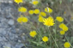 Yellow flower. Close-up Stock Image