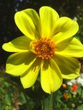 Yellow flower. Close up flower Royalty Free Stock Image