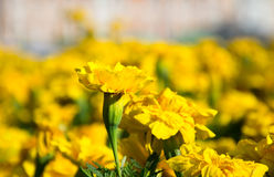 Yellow flower close-up. Background of beautiful yellow flowers Stock Images