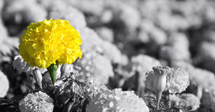 Yellow flower close-up. Background with large yellow flowers Royalty Free Stock Images