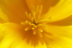 Yellow flower close up Royalty Free Stock Photo