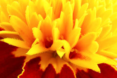 Yellow flower close up Stock Image