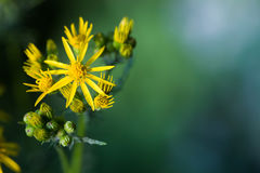 Yellow flower. A close up of a yellow flower with yellow florets and stamens stock image