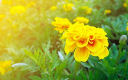 Yellow flower close-up. Flowers with leaves isolated stock photography