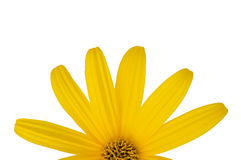 Yellow flower close-up. Yellow flower isolated on a white background Stock Image