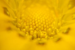 Yellow Flower. Close-up yellow flower showing stamens filaments and petals Royalty Free Stock Image