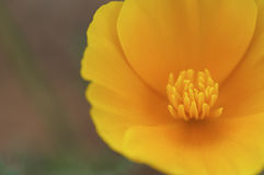 Yellow flower close up. With stamen Stock Images