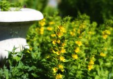yellow flower green leaf vase sunlight garden summer Royalty Free Stock Photo