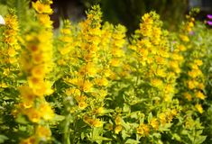 Yellow flower close-up sunlight garden. Green leaf nature blur background Royalty Free Stock Photos