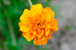 Yellow Flower. Close up view stock photography
