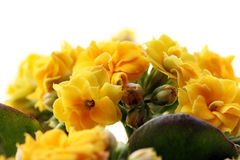 Yellow flower close up Stock Images