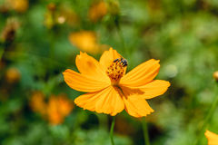 Yellow flower closeup with a bee. Stock Image