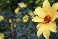 Yellow flower. Closeup of yellow flower at Butchart Gardens Royalty Free Stock Photography