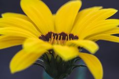 Yellow flower closeup macro photo. In spring time Royalty Free Stock Photo