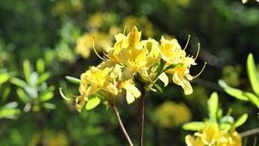 Yellow flower cluster of Yellow Azalea Rhododendron Luteum in full blossom, 4K. Yellow flower cluster of decorative shrub Yellow Azalea Rhododendron Luteum in stock footage