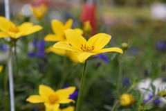 Yellow flower. Yellow  flower Common St. Johnswort Stock Photos