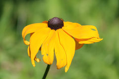 Yellow flower of coneflower or Rudbeckia hirta Stock Image