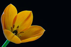 Yellow flower. On a contrasting black background Royalty Free Stock Photos