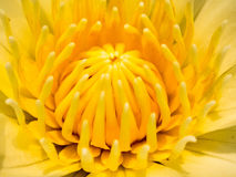 Yellow flower core Royalty Free Stock Photography