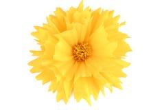 Yellow flower coreopsis Stock Photo