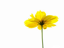 Yellow flower of cosmos Stock Photo