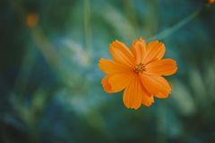 Yellow Flower Cosmos Royalty Free Stock Photos