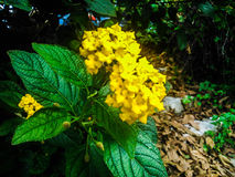 Yellow flower. In the country side of Corfu Stock Photo