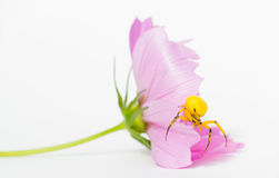 Yellow Flower Crab Spider Stock Images