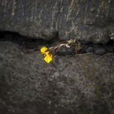 Yellow flower on the crack of an old wall Royalty Free Stock Photo