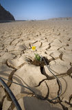 Yellow flower cracked soil irrigation stock image
