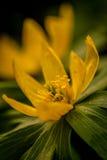 Yellow flower Royalty Free Stock Photos