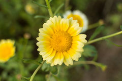 Yellow flower of crown daisy chrysanthemum Royalty Free Stock Photos