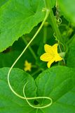 Yellow flower of the cucumber Royalty Free Stock Images