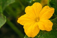Yellow Flower Of Cucumber On Branch In The Garden. Flowering Plant.  Royalty Free Stock Photos