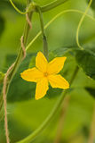 Yellow flower on a cucumber plant in a greenhouse Royalty Free Stock Images