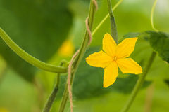 Yellow flower on a cucumber plant in a greenhouse Royalty Free Stock Photo