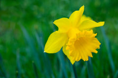 Yellow flower daffodil Stock Photography