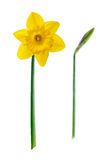 Yellow flower - Daffodil, on white background. Yellow flower - Daffodil, isolated on white background stock photography